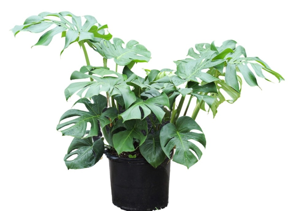 Plant with heart-shaped green leaves deeply cut from the outer edge.