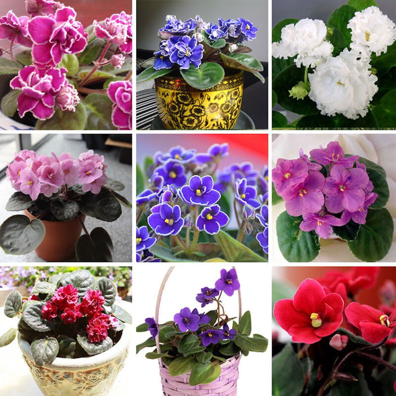 9 photos of variously coloured African violets forming a square.