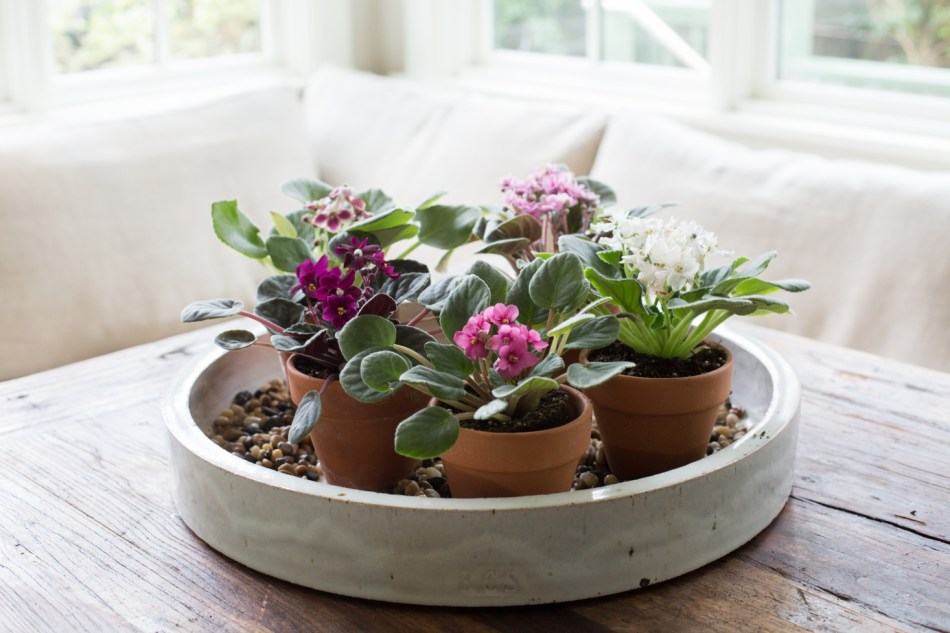 Miniature African violets on a humidity tray on a table.