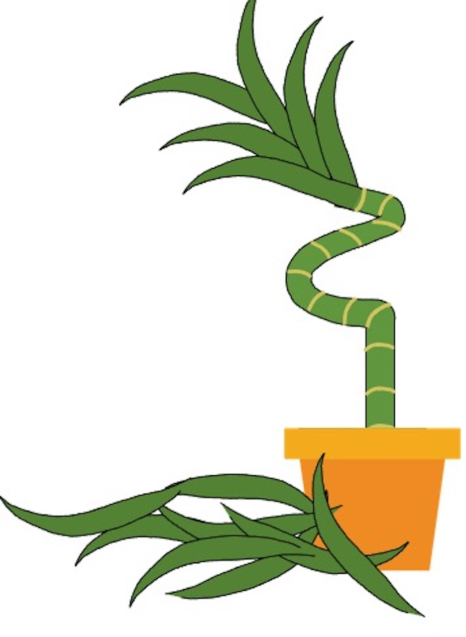 Drawing of lucky bamboo with spiral, lower leaves removed to reveal stem.