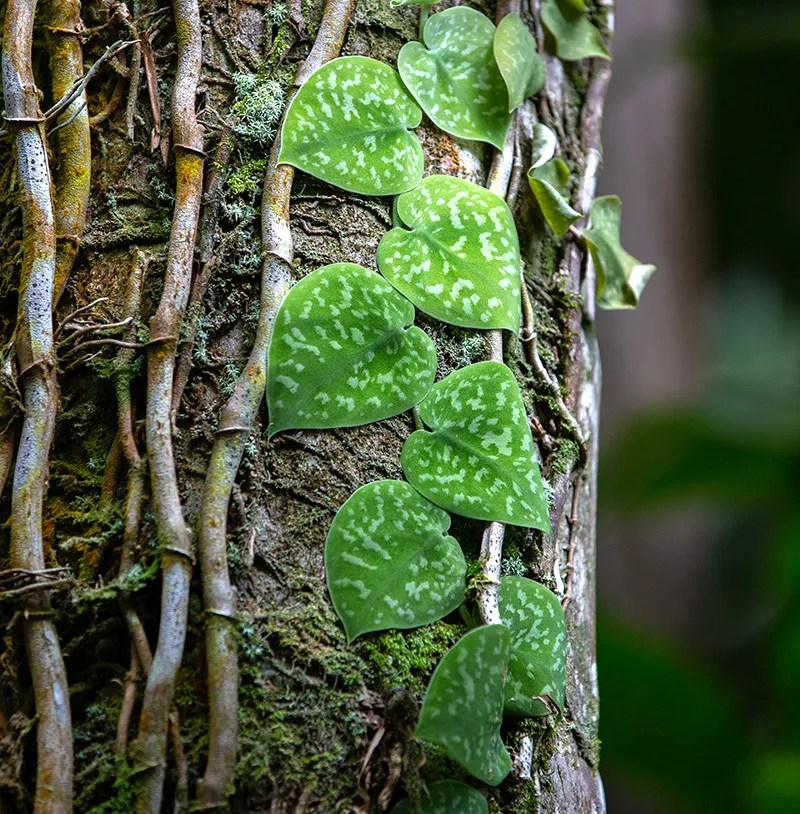 Scindapsus pictus growing on tree trunk, with climbing stems, green leaves mottled silver