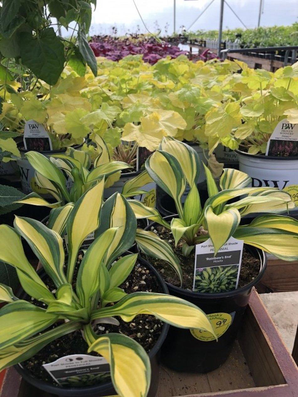 Pots of hosta 'Rainbow's End' in a plant nursery.