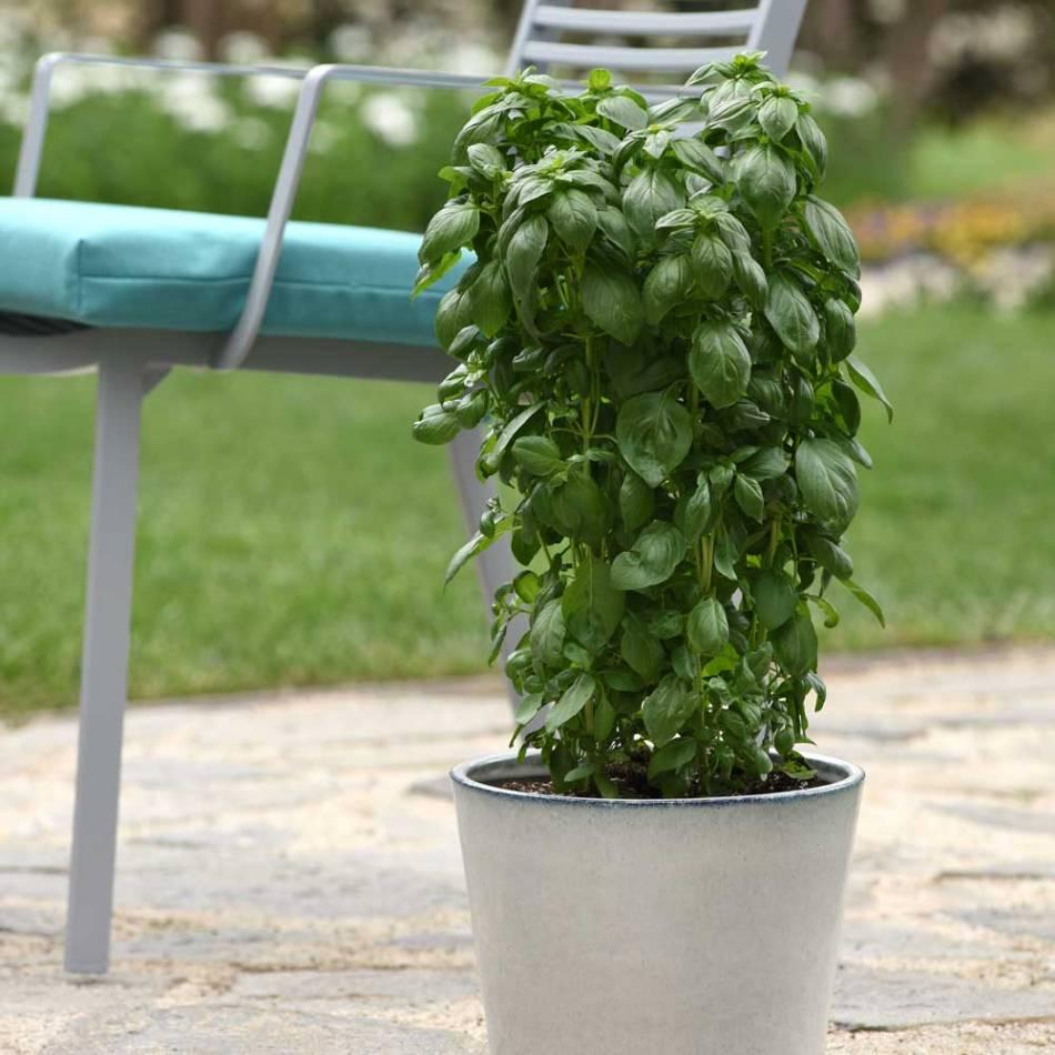 Columnar green basil in a pot.