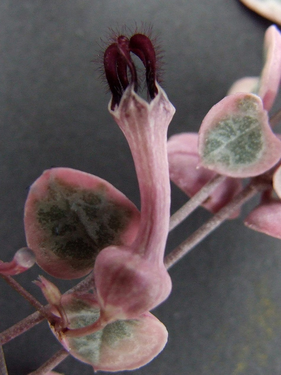 Curious lantern-shaped flower of Variegated Sweetheart Vine, pink with deep purple fuzzy top.