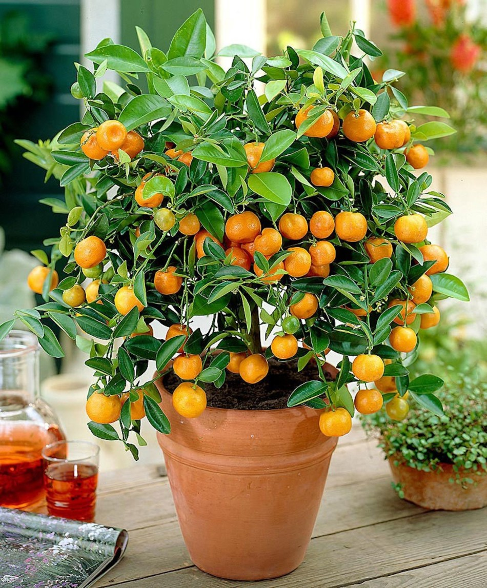Calamondin orange in clay pot on table.