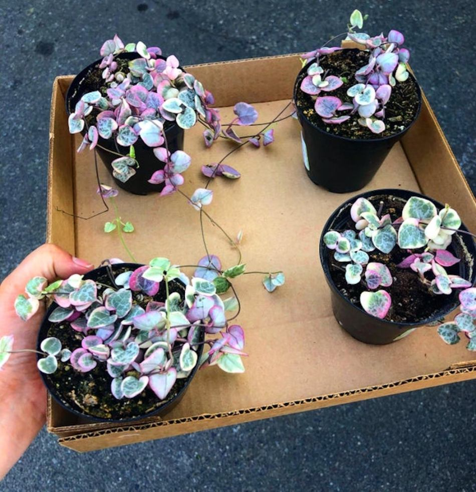 Plants of Variegated Sweetheart Vine received by mail order.