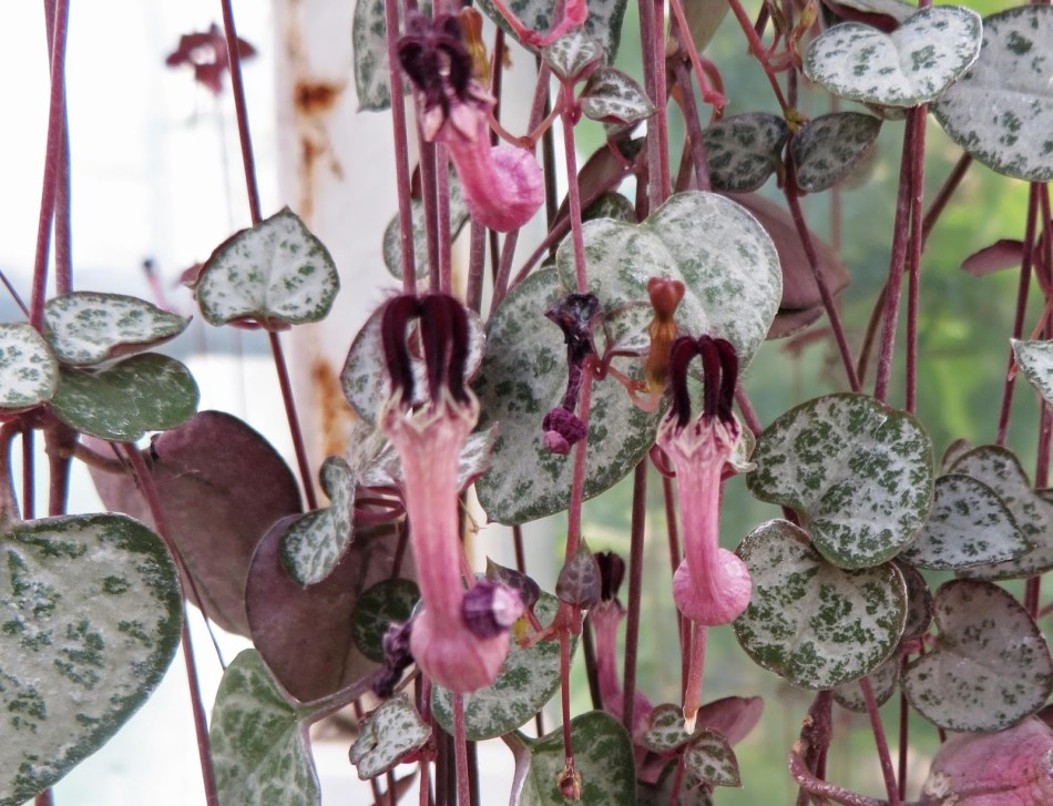 Regular Sweetheart Vine without variegated. Also, pink and purple lantern-shaped flowers.