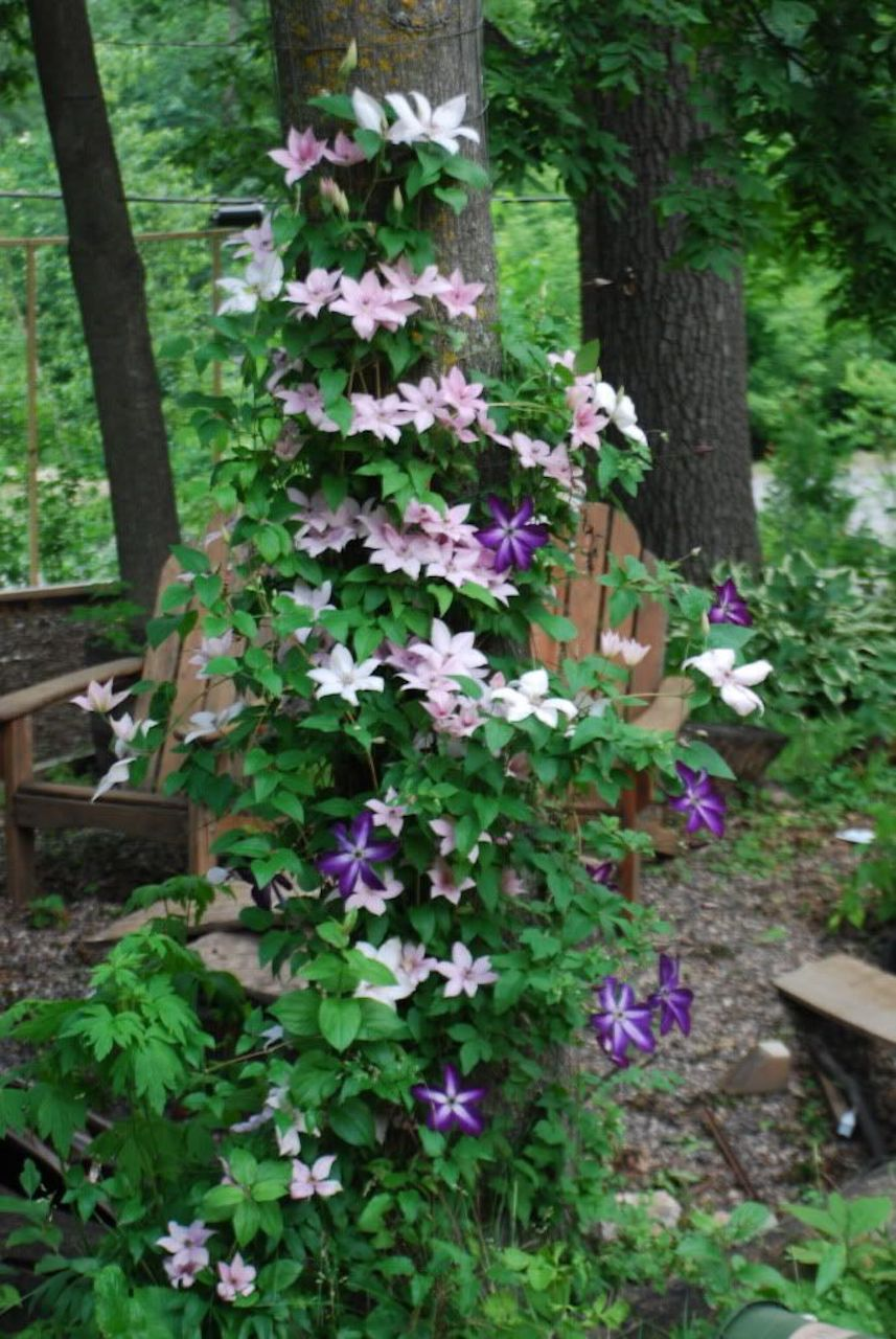 Mixture of clematis climbing a tree.