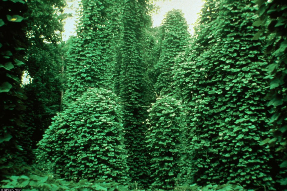 Trees completely overgrown with kudzu.