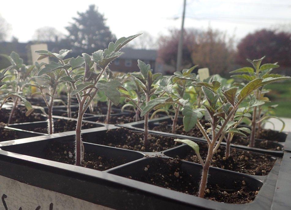 Tomato seedlings in multipacks.