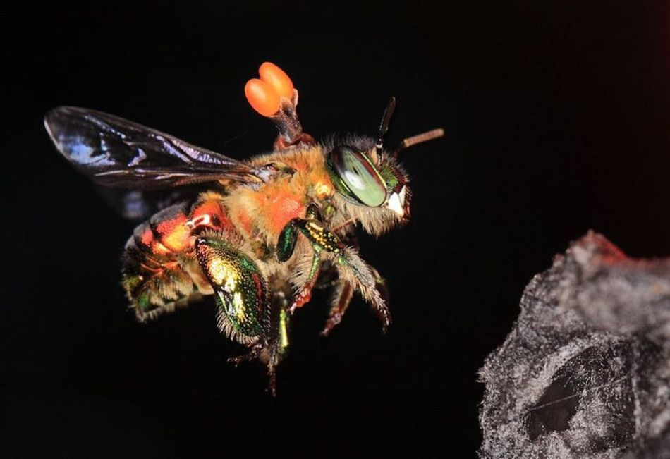 Bee with pollinia stuck to its back.