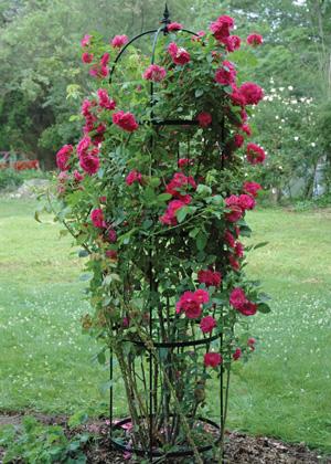 Climbing rose growing up inside an obelisk