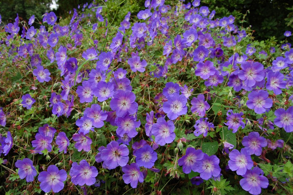 Geranium  Rozanne blooms all summer and into fall with purple flowers.