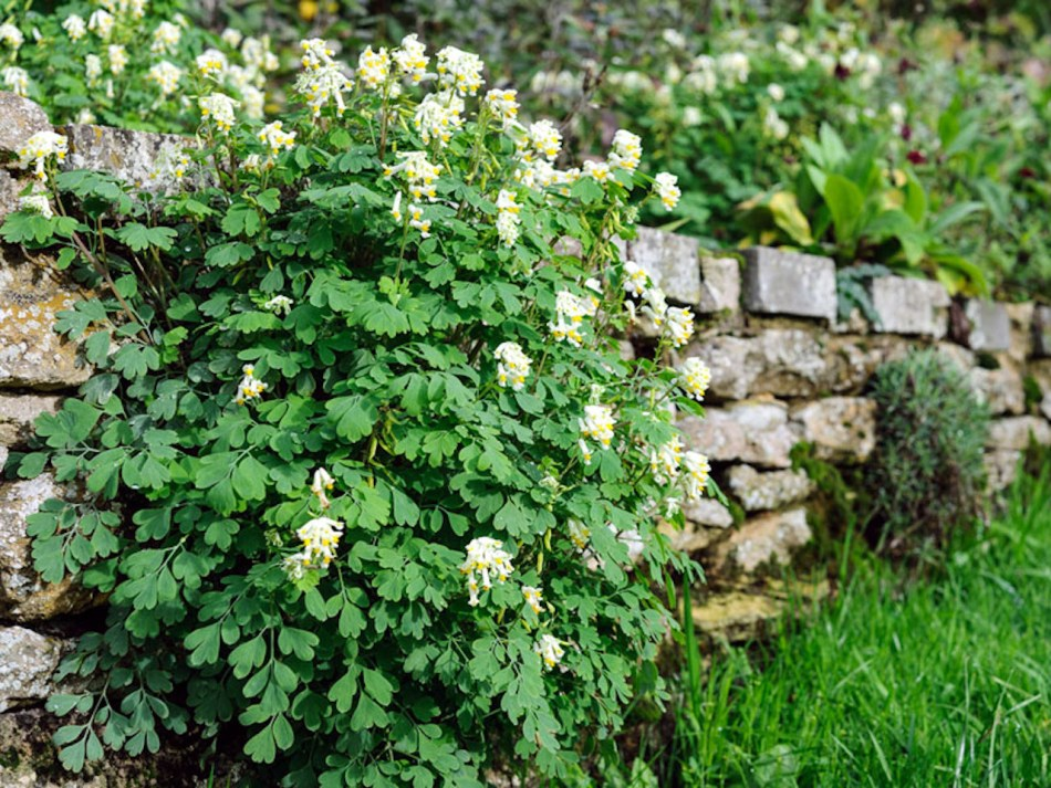 White corydalis loves to sow itself into rock walls.