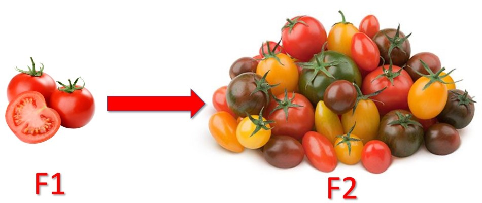 F1 tomatoes are identical; F2 tomatoes are variable.