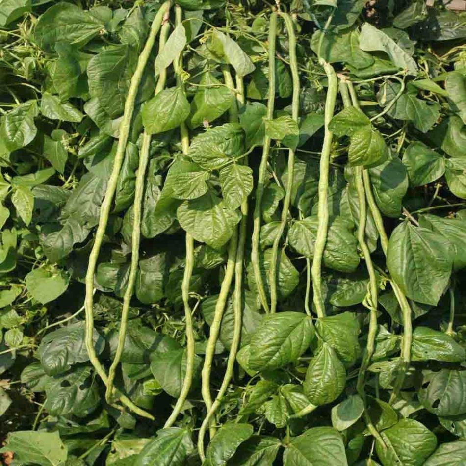 Yardlong beans on the vine.
