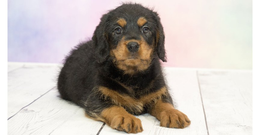 Hybrid Rottie Poo puppy.