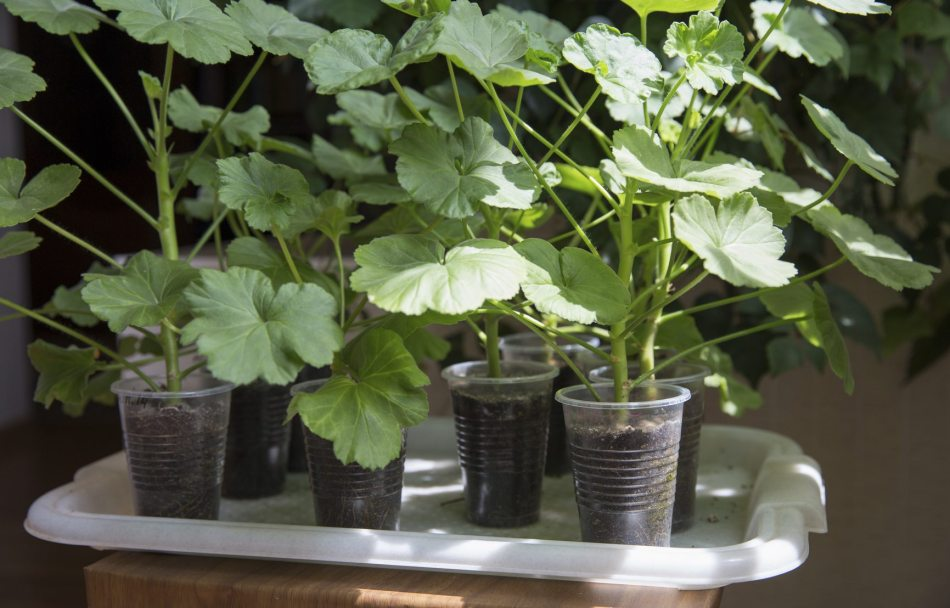 Pelargonium cuttings in front of a sunny window.