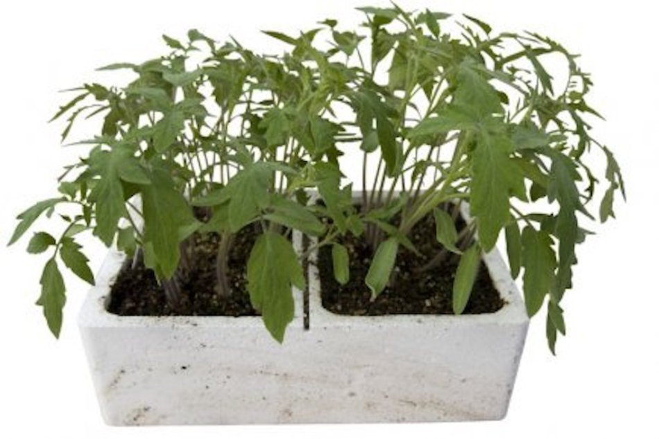 Tomatoes in a styrofoam seed tray.