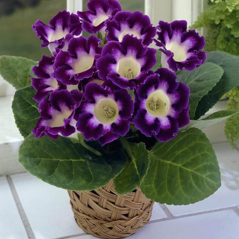 Florist's gloxinia in wicker pot.