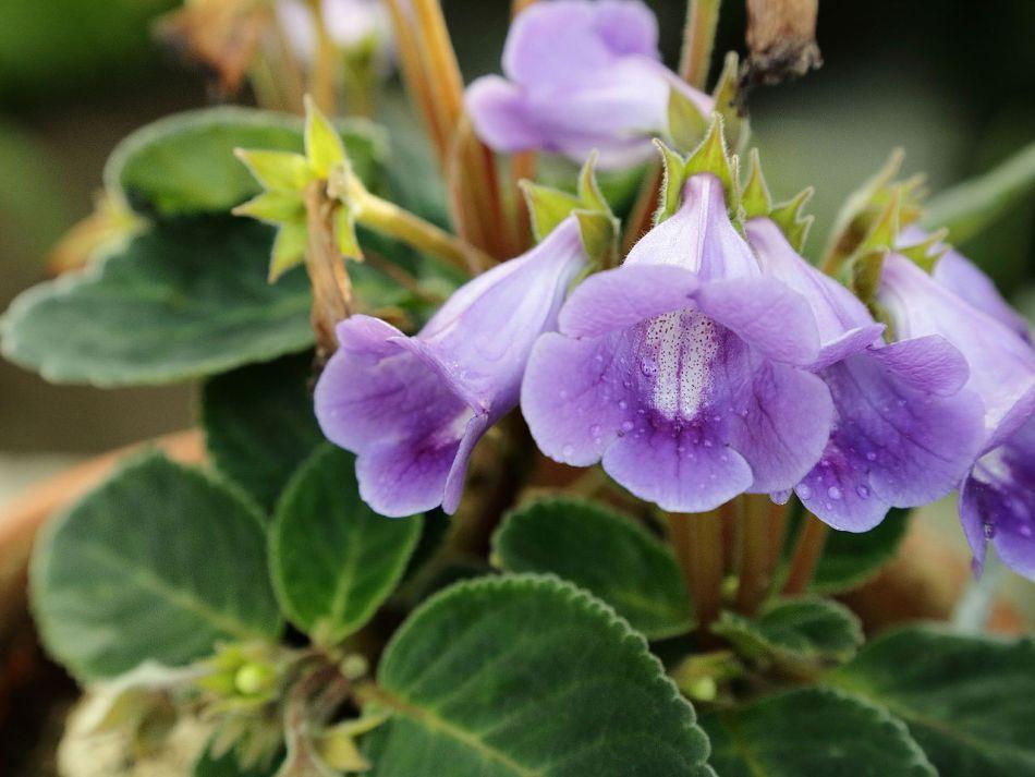 Florist's gloxinia with nodding lavender flowers.