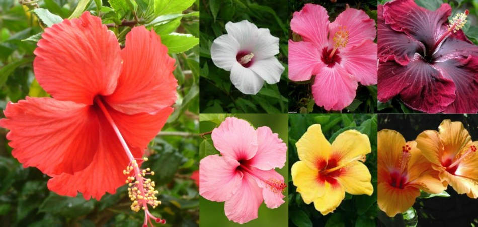 Various colors of Chinese hibiscus.