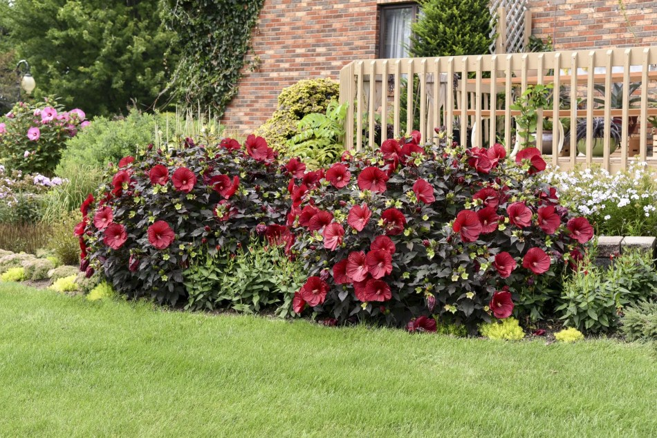 Hardy hibiscus Summerific 'Holy Grail' with red flowers and purple foliage.