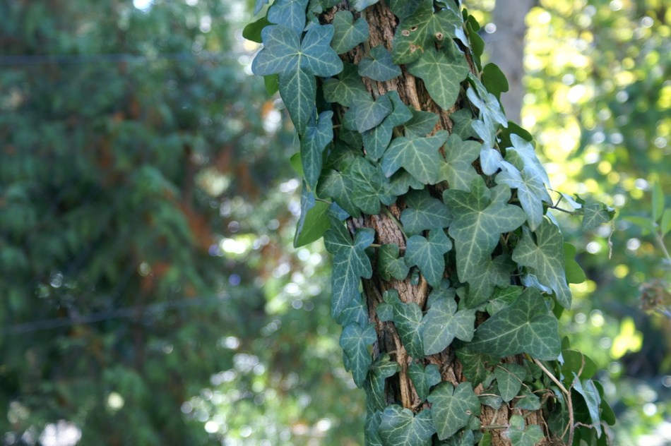English ivy climbing up a tree trunk.
