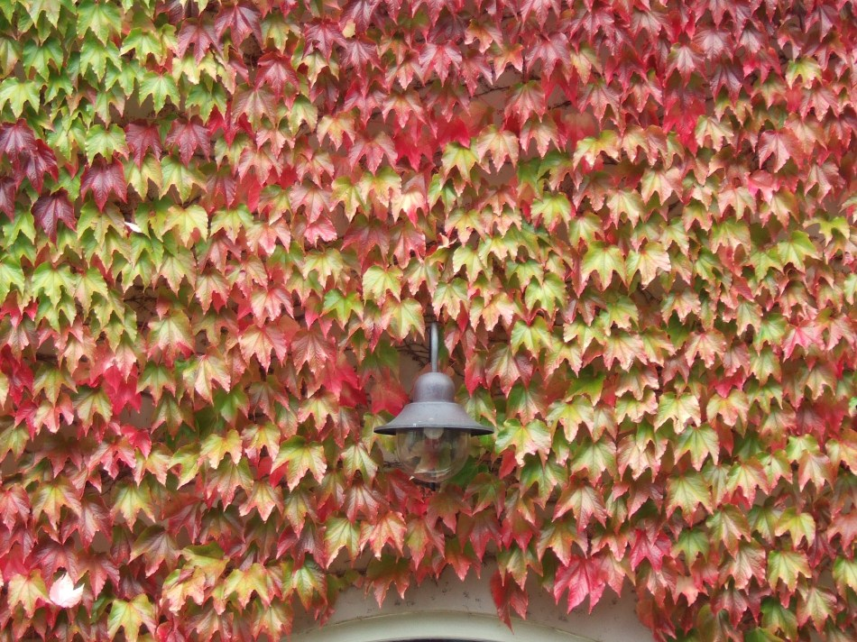 Boston ivy turning red in the fall and growing on a wall.