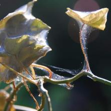 Ivy severely infested by spider mites.