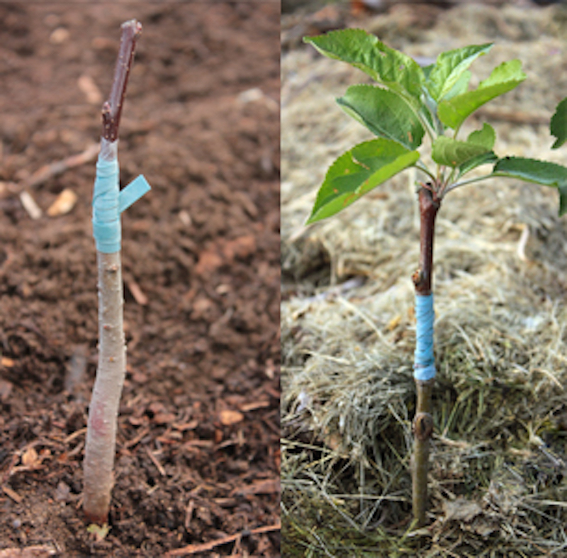 Freshly grafter tree with rubber band and same tree after new growth starts a few weeks later.