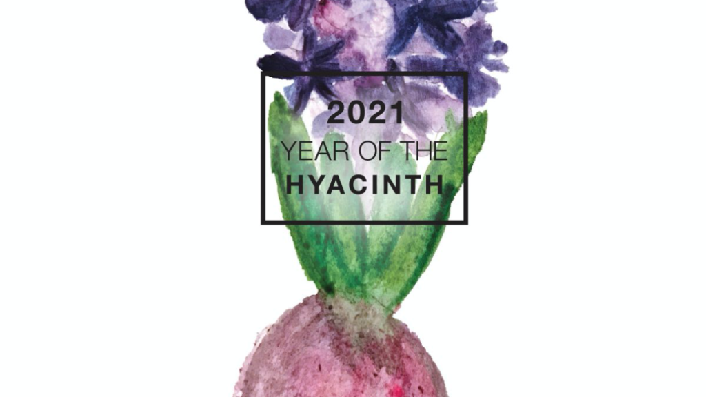 Water color of purple hyacinth with bulb.