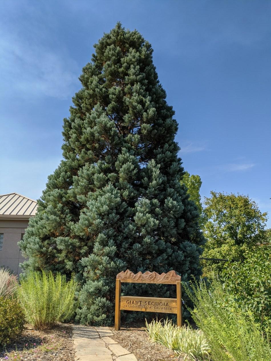 Giant sequoia in Colorado