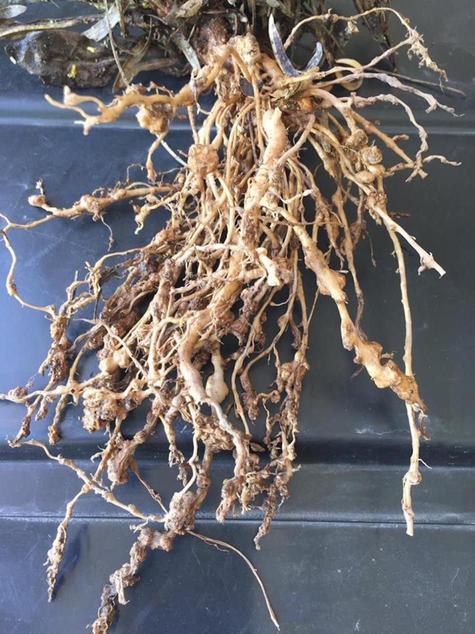 Roots showing galls caused by root-knot nematodes.