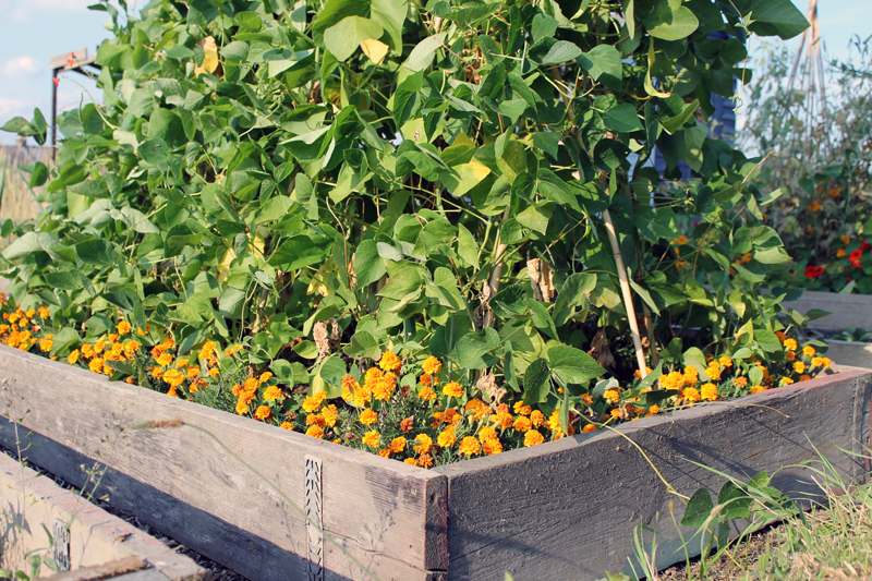 French marigolds used as companion plants in a raised bed surrounding pole beans.