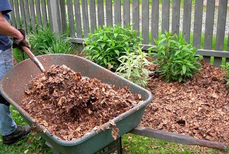 Applying leaf mulch to a garden