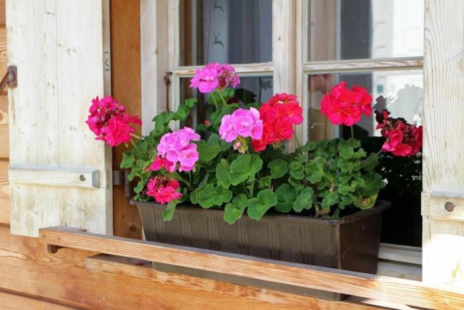 Flower box with pelargoniums.