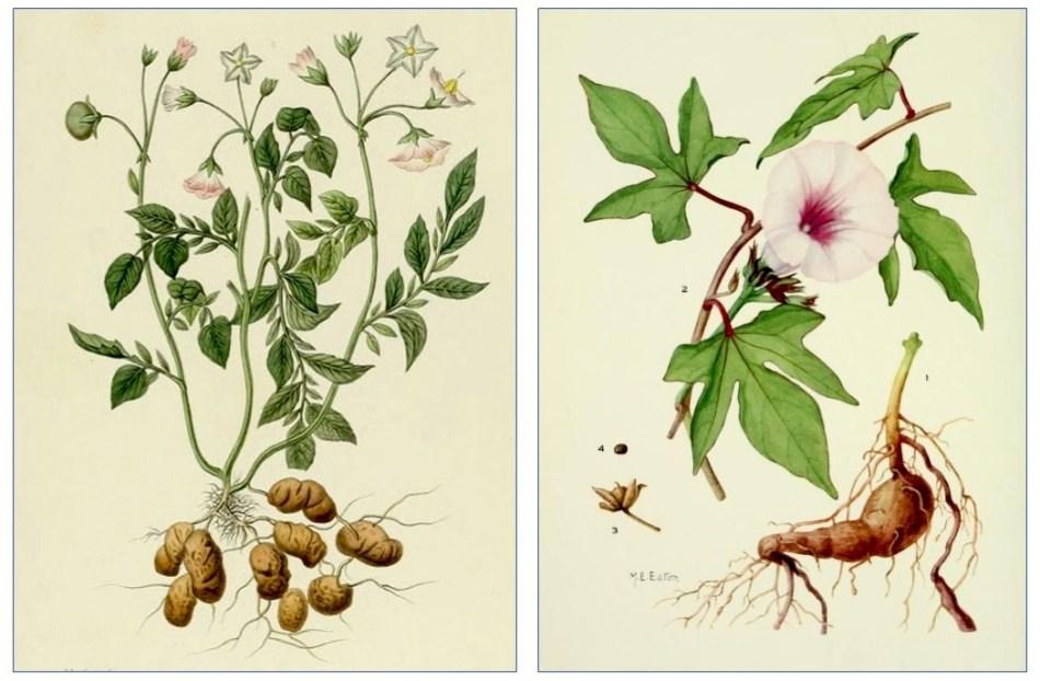 Botanical illustrations of the potato and the sweet potato.