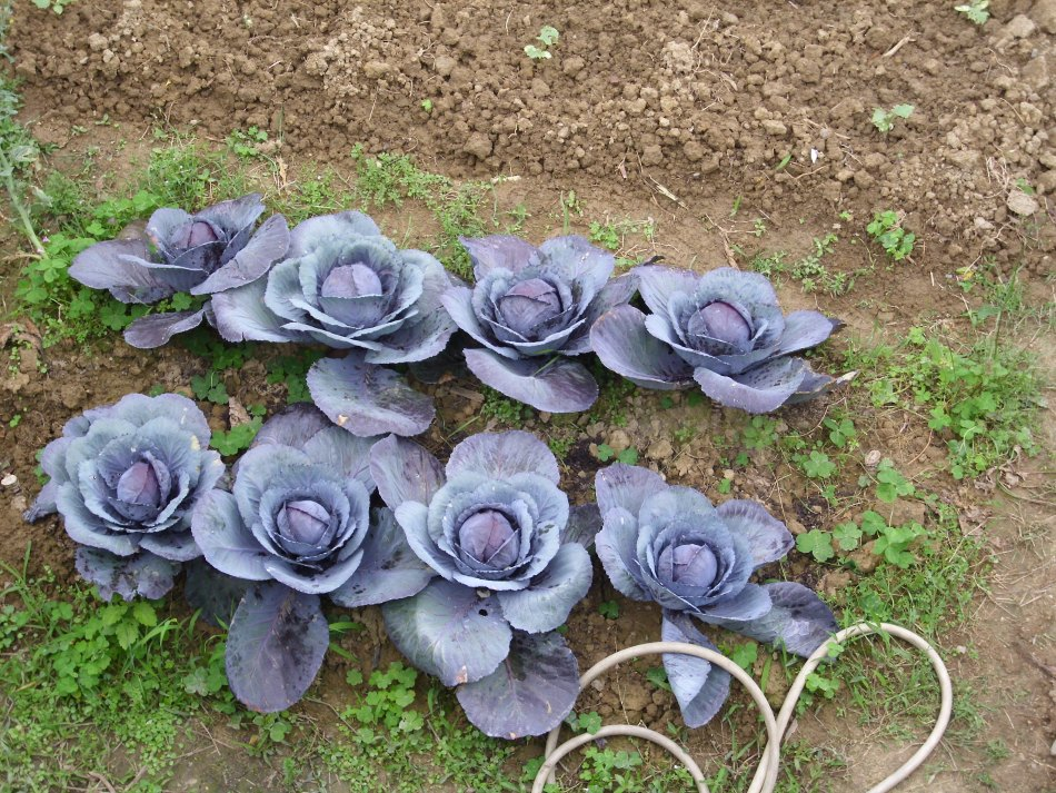 Two short rows of red cabbage.