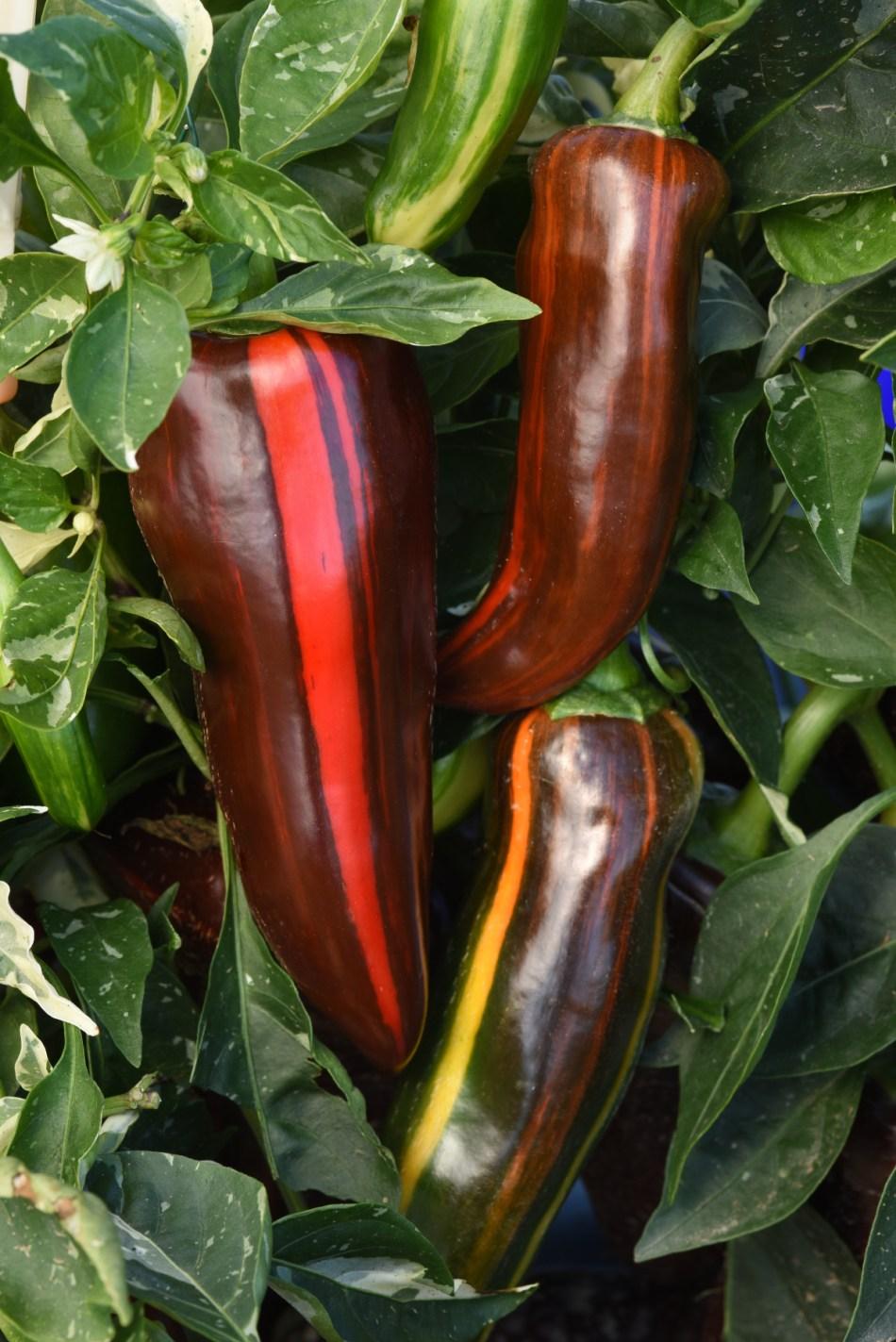 Mocha Swirl peppers at maturity.