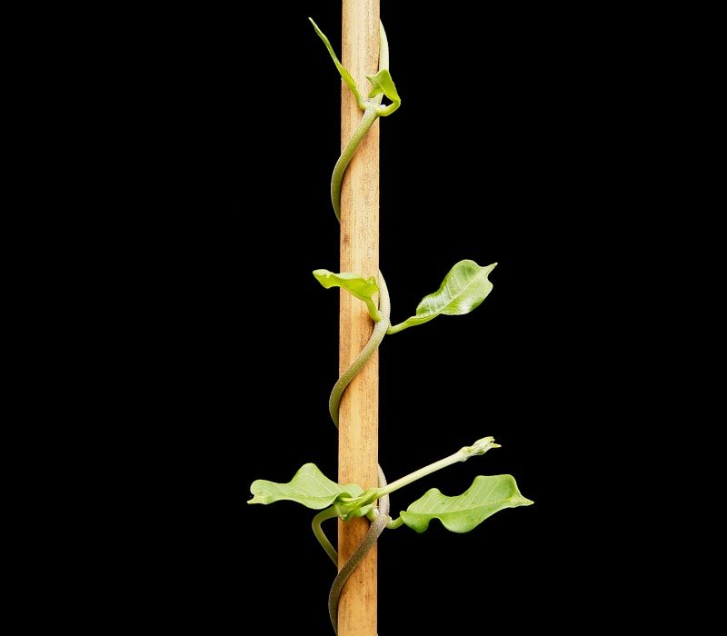 Twining stem wrapped around a bamboo stake.