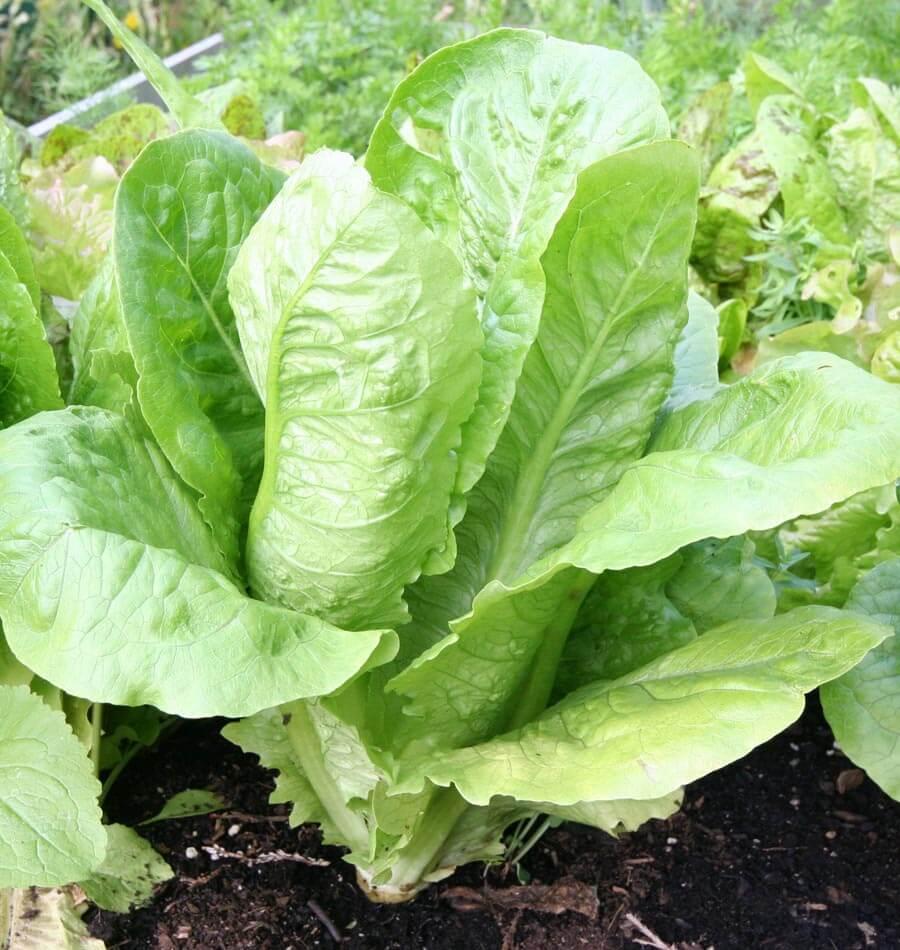 'Parris Island' romaine lettuce.