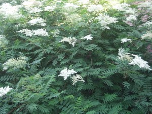 False spirea with cut leaves and fuzzy white flowers.
