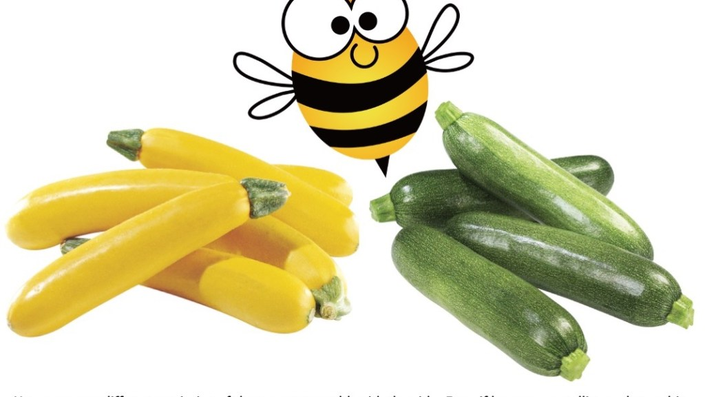 Yellow zucchini and green zucchini with pollinating bee between them.