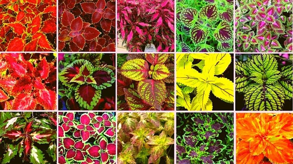 15 varieties of coleus