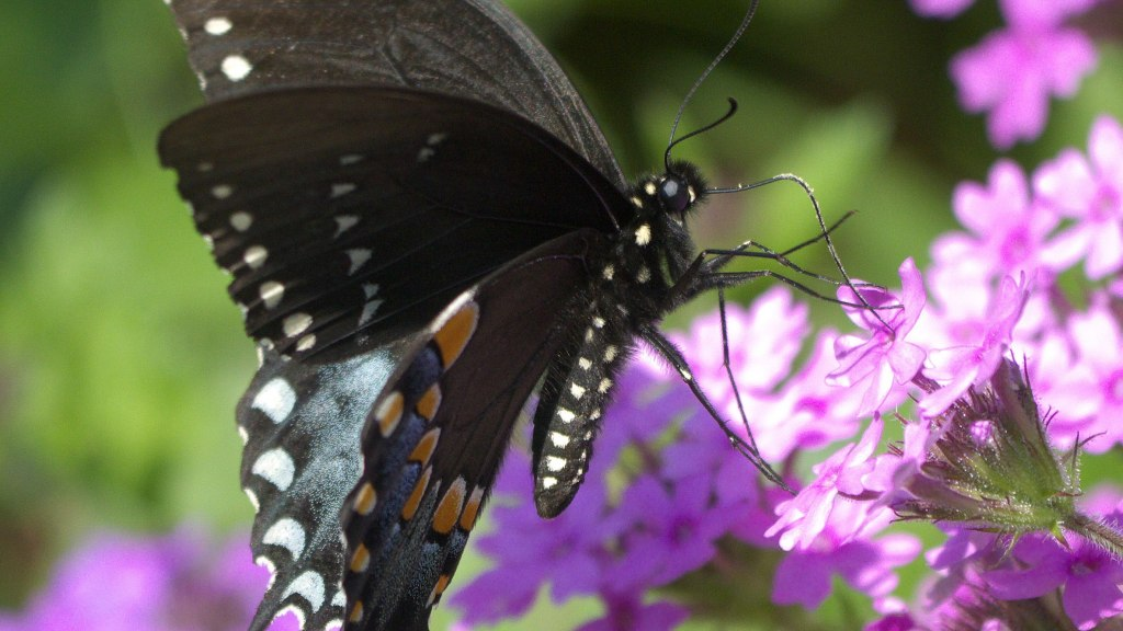 Swallowtail butterfly visiting phlox flowers.