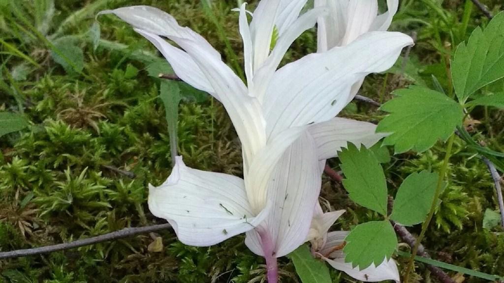 Albino broad-leaved helleborine