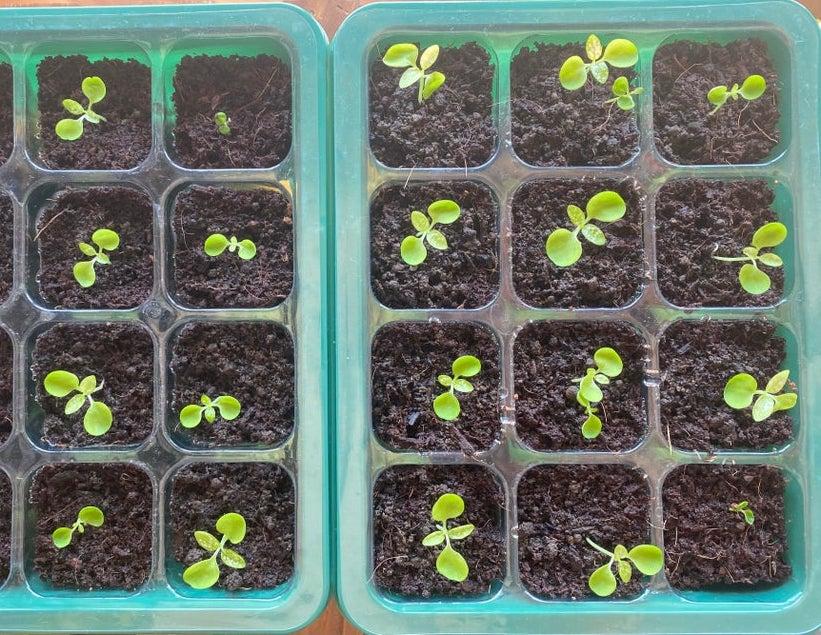 polka dot plant seedlings