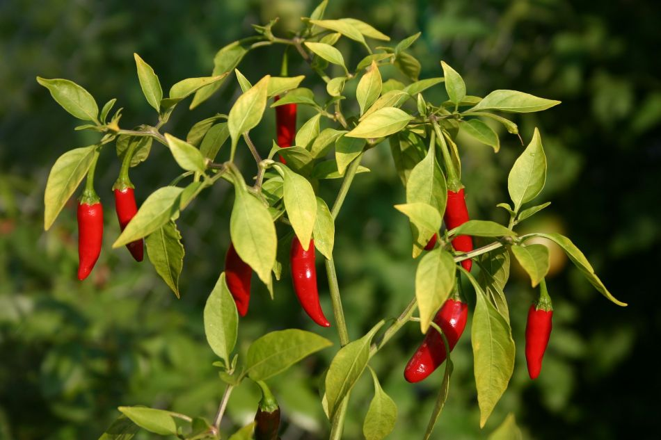 Thai peppers at maturity.