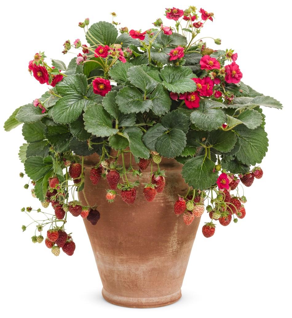Ornamental strawberry Berried Treasure Red in a terracotta pot